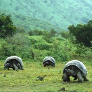 Galapagos Wildlife: Giant Tortoises