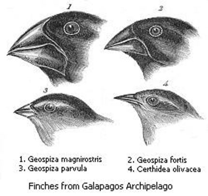 Galapagos Graphics: Sketch of Darwin's Finches by John Gould from 'Voyage of the Beagle'