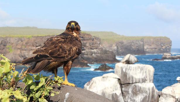 Galapagos Wildlife: Galapagos Hawk © Stuart Hill