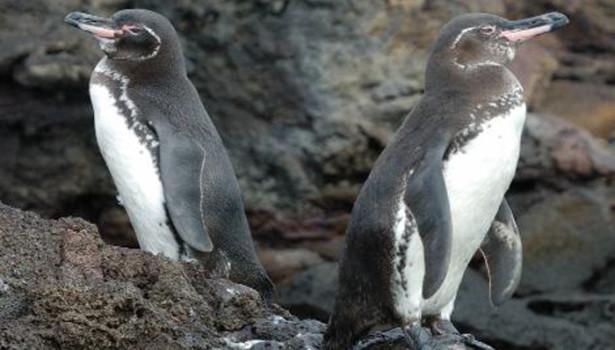 Galapagos Wildlife: Galapagos Penguins © Trevor Platt