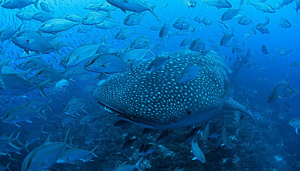 Galapagos Wildlife: Whale Shark with Jacks © Jonathan Green