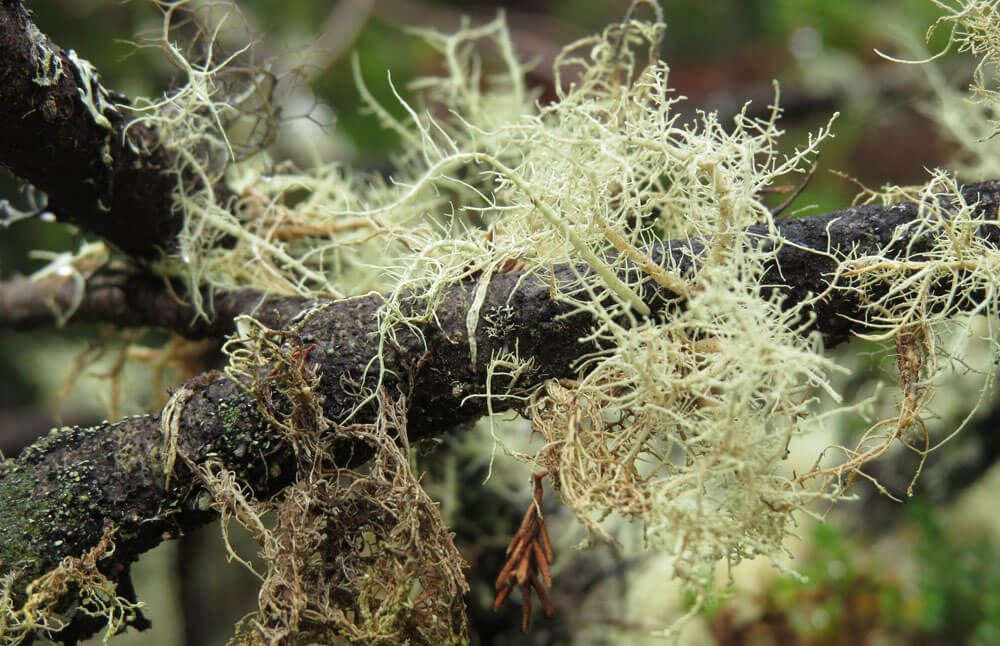 Galapagos Wildlife: Lichen © Galapagos Conservation Trust
