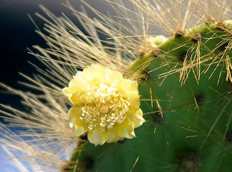 Galapagos Wildlife: Prickly Pear Cactus in flower © GCT