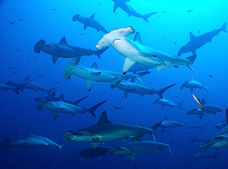 Galapagos Wildlife: School of hammerheads © Galapagos National Park