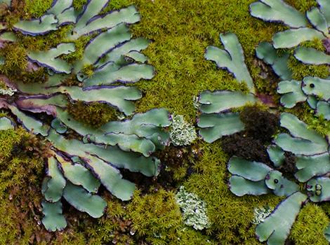 Galapagos Wildlife: Lichens © Godfrey Merlen