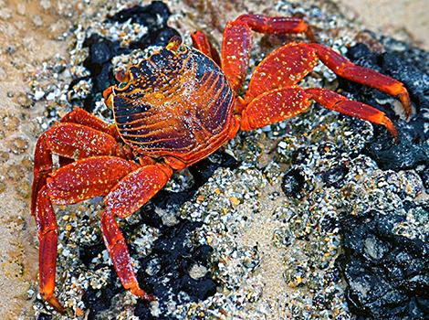 Galapagos Wildlife: Sally lightfoot crab © Kathleen Trotter