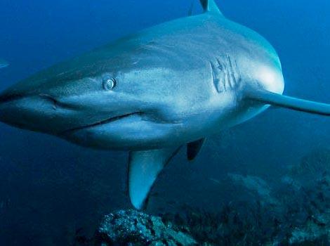 Galapagos Wildlife: Galapagos Shark © Jonathan Green