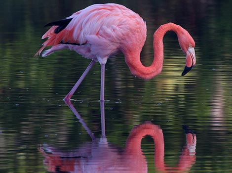 Galapagos Wildlife: Greater flamingo © Bill Hale