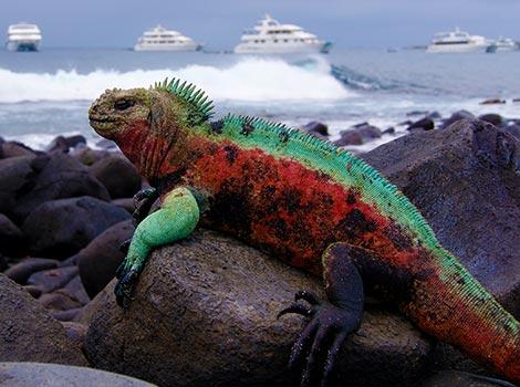 Galapagos Wildlife: Marine iguana with boats © Robin Slater