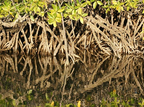Galapagos Wildlife: Red Mangrove © Tim Poole