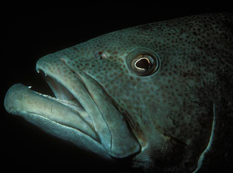 Galapagos Wildlife: Bacalao Grouper © Jack Stein Grove
