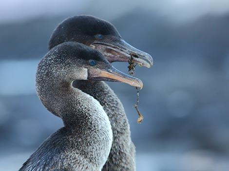 Galapagos Wildlife: Cormorant couple © Kevin Watson