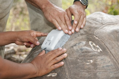 Galapagos People: Researchers attach a GPS tracker to a tortoise shell © Stephen Blake