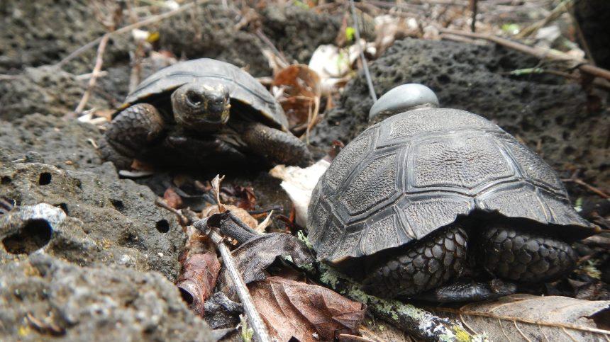 Galapagos Wildlife: Tagged tortoise © Steve Blake