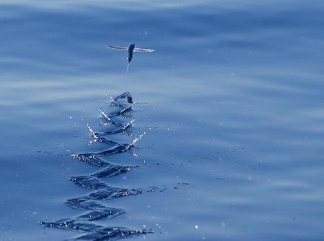Galapagos Wildlife: Flying Fish © David J Ringer