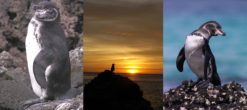 Galapagos Wildlife: Galapagos Penguins ©Bart Goedendorp, ©Antje Steinfurth and ©Jonathan Green