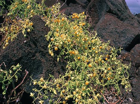 Galapagos Wildlife: Galapagos Tomato © GCT