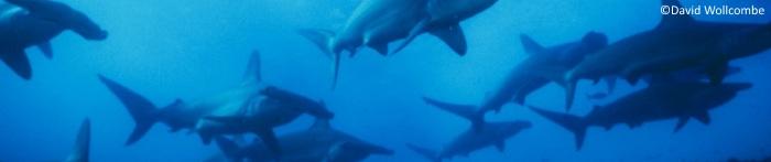 Galapagos Wildlife: Hammerhead Sharks © David Wollcombe