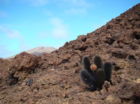 Galapagos Wildlife: Lava cactus © Claire Cockcroft