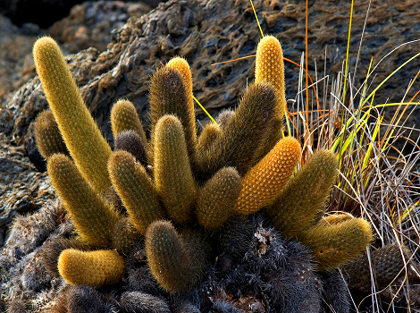 Galapagos Wildlife: Lava cactus by © Roger Bates