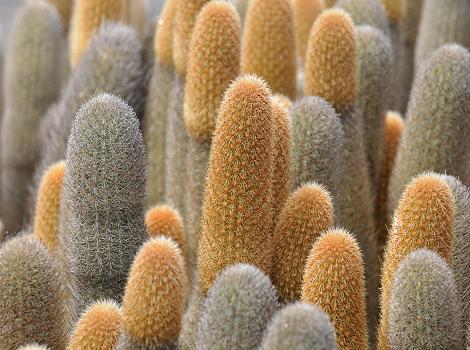 Galapagos Wildlife: Lava cactus © Martin Whitaker