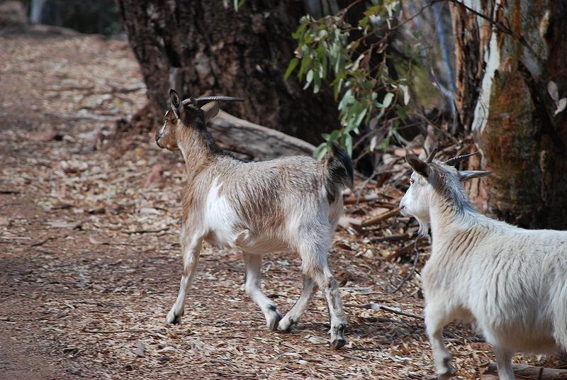 Galapagos Wildlife: Feral goats © GNP