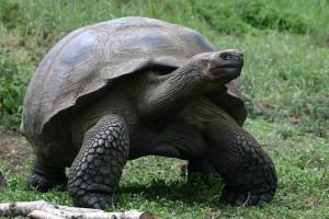 Galapagos Wildlife: Galapagos giant tortoise © Vanessa Green