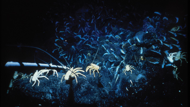 Galapagos Places: An image of a community of galatheid crabs, taken during a 1979 expedition to the Galapagos Rift ©  Robert Hessler/Woods Hole Oceanographic Institution