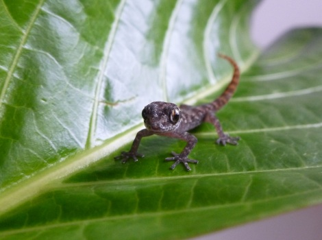 Galapagos Wildlife: Rabida Gecko © Island Conservation