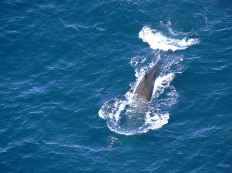 Galapagos Wildlife: Sperm Whale