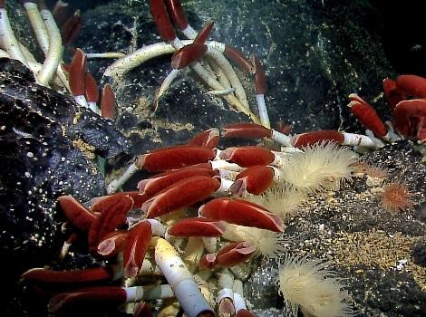 Galapagos Wildlife: Giant Tube Worm © NOAA