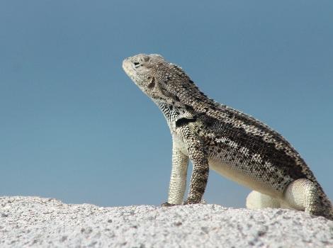 Galapagos Wildlife: Lava Lizard © Luiz Ortiz Catedral
