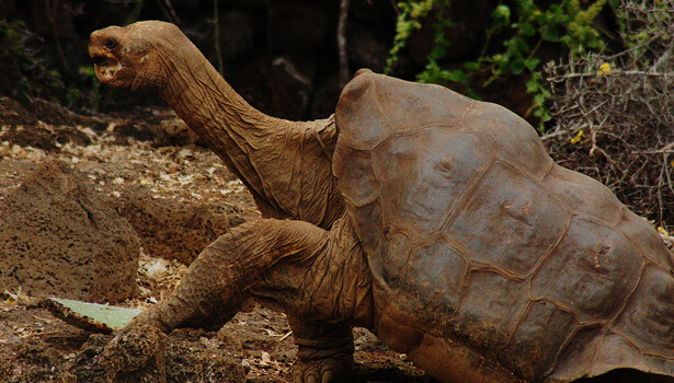 Galapagos Wildlife: Lonesome George © Magnus Manske