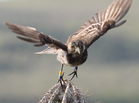 Galapagos Wildlife: Mockingbird Flight © Luiz Ortiz Catedral