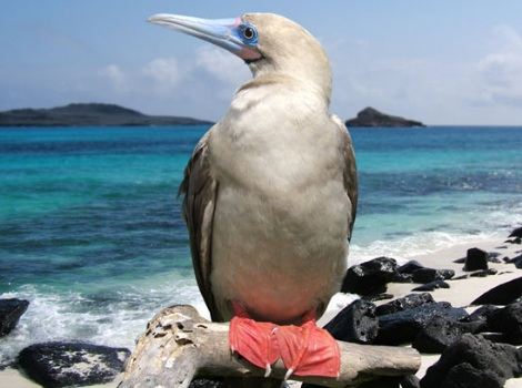 Galapagos Wildlife: Red Footed Booby © Mike Sheperd