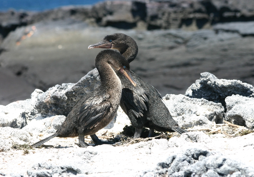 Galapagos Wildlife- Flightless cormorant pair © Vanessa Green